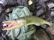 Chain Pickerel - stopping by for a dental checkup