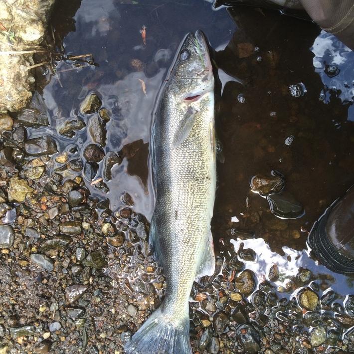 "River Walleye 18,1/4"""