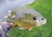 Green sunfish X bluegill Hybrid