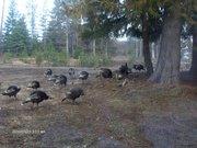Turkeys in Idaho