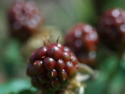 blackberry closeup