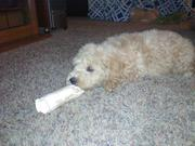 Ginger our new goldendoodle