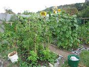 Beans & Sunflowers2008
