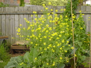 Mustard and brassicas with silverbeet and perpetual spinach going to seed in the background