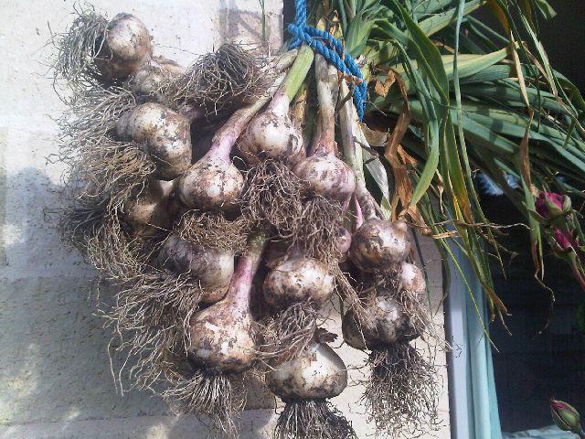 garlic harvested on 14 Jan 11