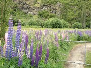 Lupins at the entrance gate to Harvest community garden