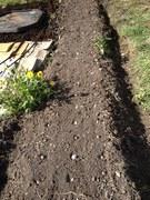 half a garlic bed planted