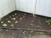 Lettuce,  Spring Onion and Spinach