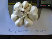 early maturing garlic