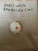 Early White Rambacole