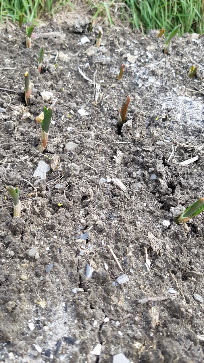 first garlic shoots of 2016