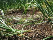 Garlic ready to start harvesting