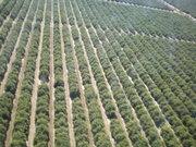 Orange groves