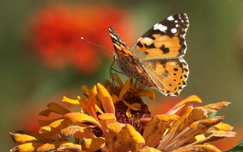 Κρητική πεταλούδα στήν πίστα - Cretan butterfly at dance floor