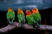 Παπαγαλακια