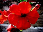 Λουλούδι άλικο...