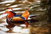 Mandarinente ....duck