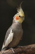 Pretty Little Cockatiel