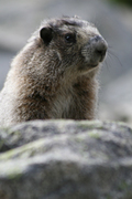 High country marmot