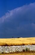 040_colture di grano (campo)
