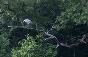 Blue Heron in a tree