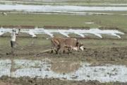 rice fields Mosaic06