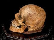 buy real human skull