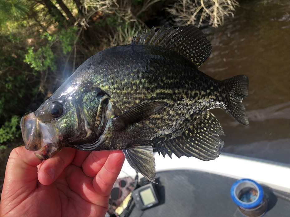 Also Picked Up A Limit of Black Crappie.........