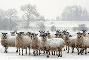 Snowy Sheep