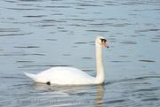 Swan on River Blyth