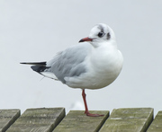 Seagull on a picnic table