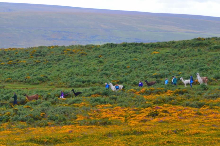 Alpacas walking on Dartmoor