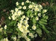 images old primroses on a Devon bank