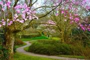 Magnolias at Lanhydrock National Trust
