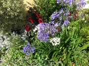 Agapanthus to brighten the blues