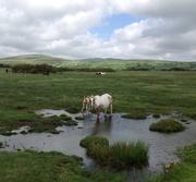 Storm Foal on Dartmoor