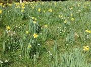 A carpet of daffodils & snowdrops