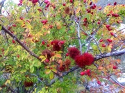rose hips in the Alps
