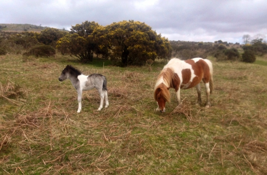 Foal with mother on Dartmoor