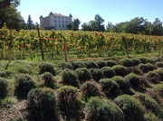 French chateau with vines & lavender
