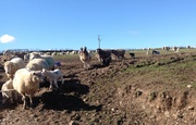 Down on the farm. Lambing time.