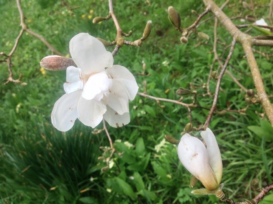 A white Magnolia heralding Spring