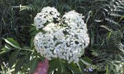 White gold! (Elderflower)