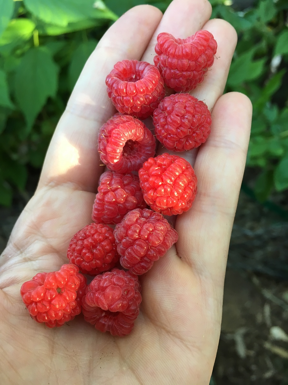 Today's little handful of raspberries.