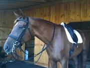 carrara in her new ANKY bridle & saddle