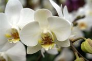 orchid-photo-02277_high