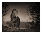 lion before storm