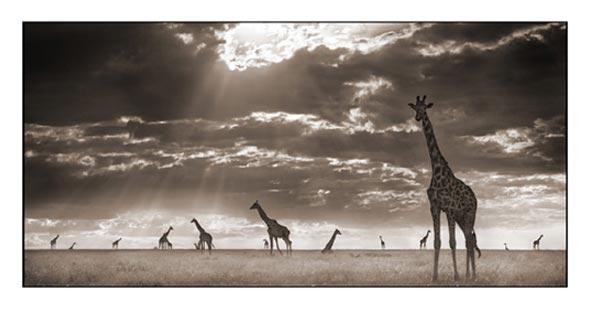 giraffes in evening light