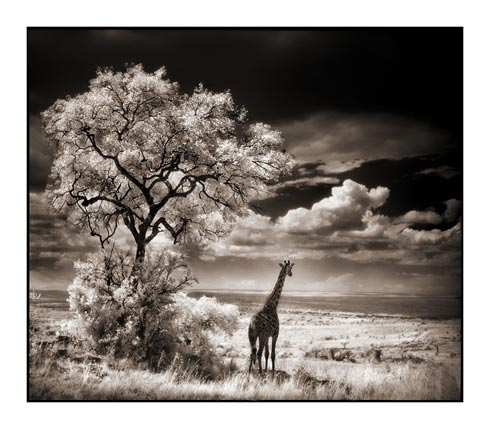 giraffe looking out over plains
