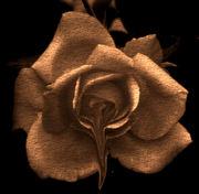 Melting Rose